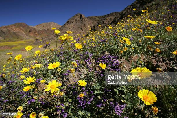 Desert wildflowers bloom near Jubilee Pass on March 11, 2005 in Death Valley National Park, California. The wettest year on record has brought...
