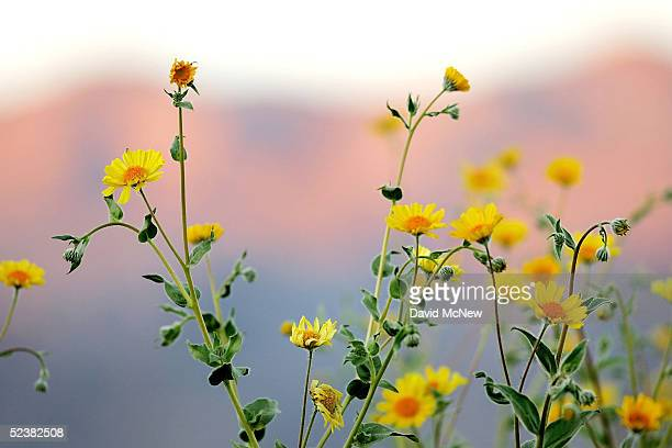 Desert wildflowers bloom on March 11 2005 in Death Valley National Park California The wettest year on record has brought massive blooms of desert...