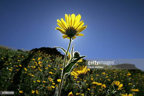Desert wildflowers bloom on March 12, 2005 in Death Valley National Park, California. The wettest year on record has brought massive blooms of desert...