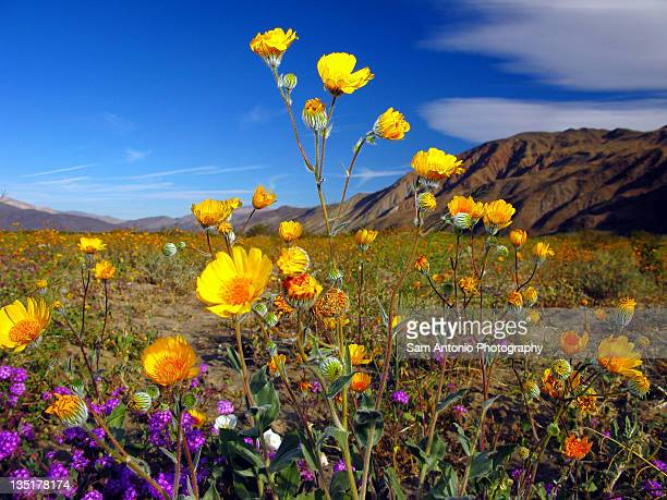 desert wildflowers of anza-borrego - anza borrego desert state park stock pictures, royalty-free photos & images