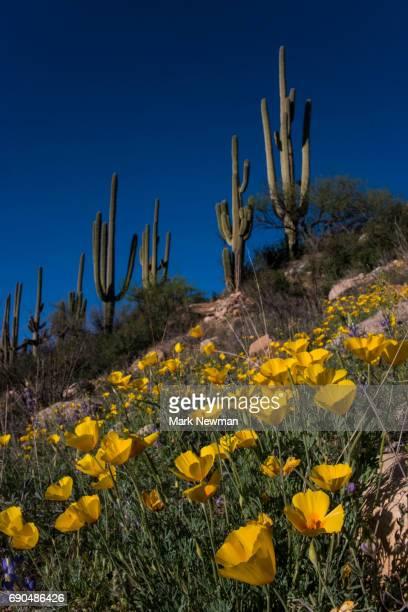 desert wildflowers - mark bloom - fotografias e filmes do acervo