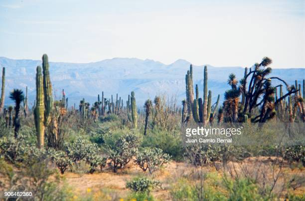 Desert with cactus in Baja California, near the border between Mexico and United states