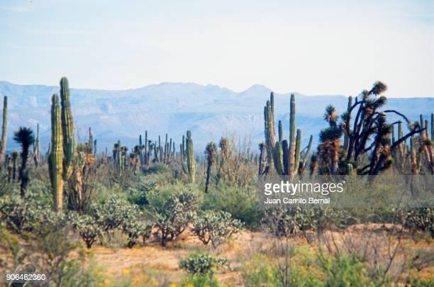 desert with cactus in baja california, near the border between mexico and united states - halbinsel niederkalifornien stock-fotos und bilder