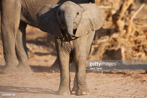 A desert-adapted elephant calf mock charges