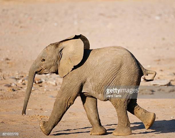 A desert-adapted elephant calf running