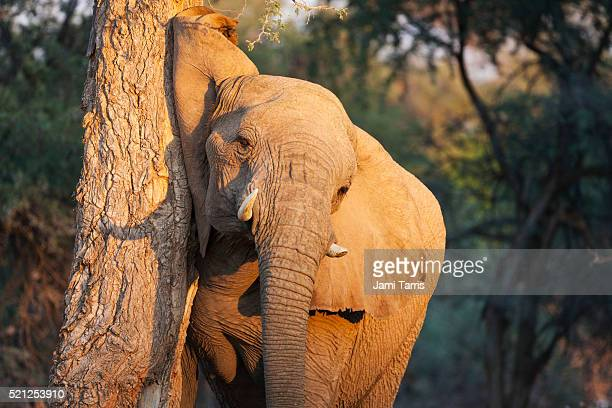 A desert-adapted elephant in morning light rubs his head and ear on a tree trunk