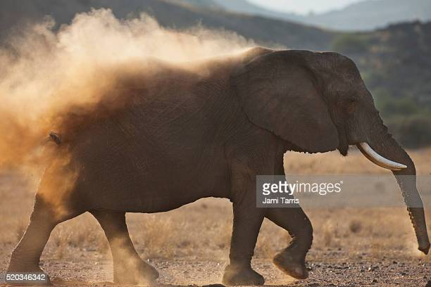 A desert-adapted elephant is dusting in evening sun while walking