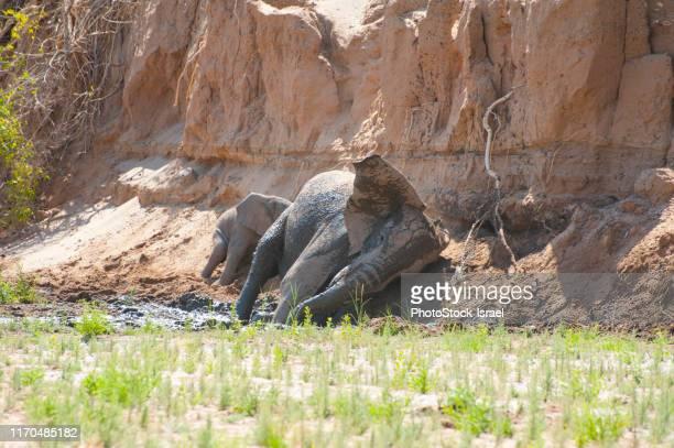 desert-adapted elephants. - flussbett stock-fotos und bilder