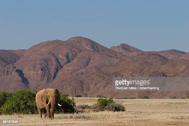desert-dwelling elephant, loxodonta africana africana, dry river, hoanib, kaokoland, namibia, africa - desert elephant stock pictures, royalty-free photos & images