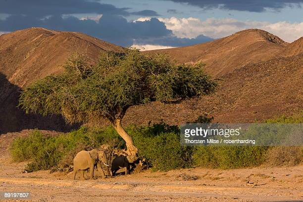 desert-dwelling elephants loxodonta africana africana in dry river bed, namibia, africa - desert elephant stock pictures, royalty-free photos & images