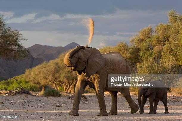 desert-dwelling elephants loxodonta africana africana showering dust, namibia, africa - desert elephant stock pictures, royalty-free photos & images