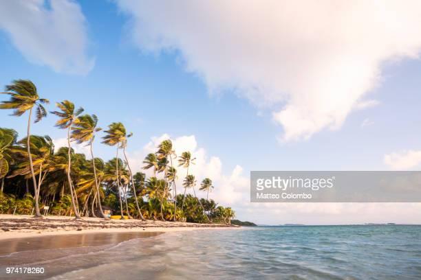 deserted sandy beach with palms at sunrise martinique caribbean - isla martinica fotografías e imágenes de stock