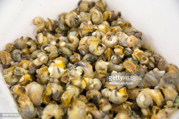 Deshelled whelks ready for export Folkestone Trawlers process manage and market all fresh fish that is landed into Folkestone Harbour by local...