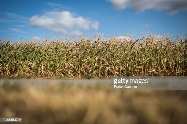 Desiccated corn plants are pictured on August 15 2018 in Schwarze Pumpe Germany