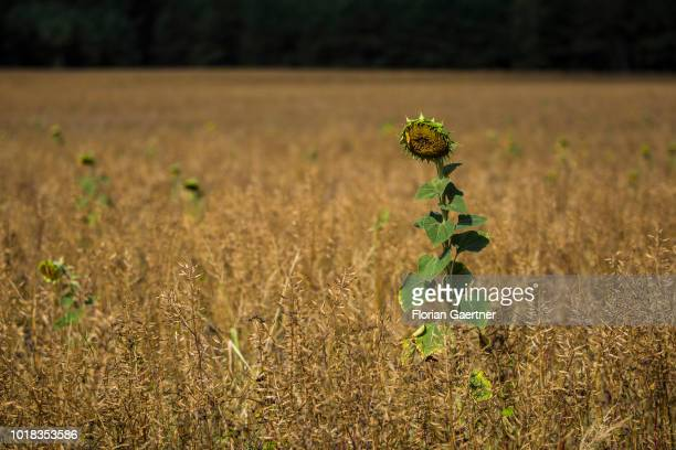 A desiccated single sunflower on a field is pictured on August 15 2018 in Boxberg Germany