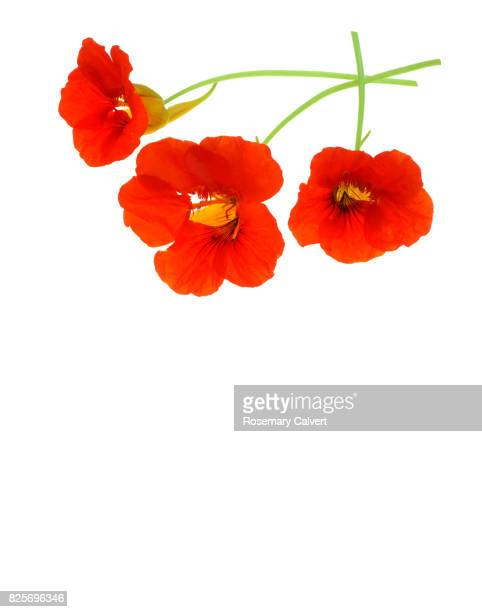 Design created with red nasturtium flowers with copy space.