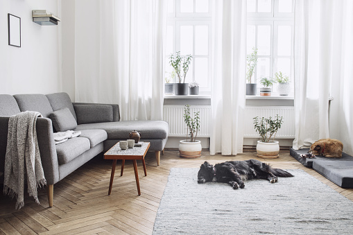Design interior of living room with small design table and sofa. White walls, plants on the windowsill and floor. Brown wooden parquet. The dogs sleep in the room. 979578646