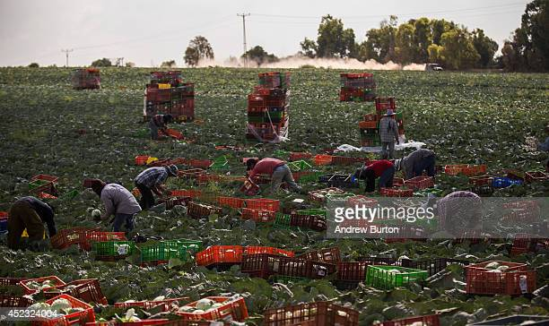 Despite the nearby Israeli ground offensive, farm workers pick crops in a field near the Israeli-Gaza on the morning of July 18, 2014 near Sderot,...