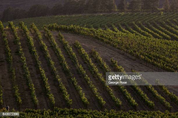 Despite warm temperatures and high humidity the 2017 grape harvest is now fully underway in Santa Barbara County on September 1 near Santa Maria...