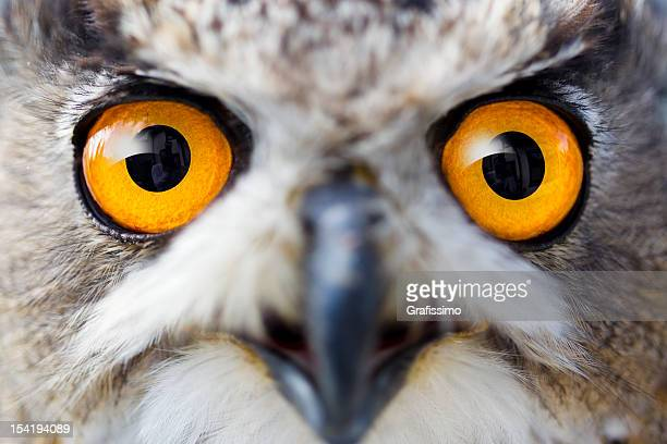 Detail eyes of eagle owl
