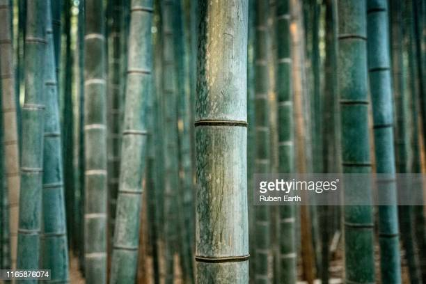 detail of a bamboo tree trunk in a forest - 竹 ストックフォトと画像