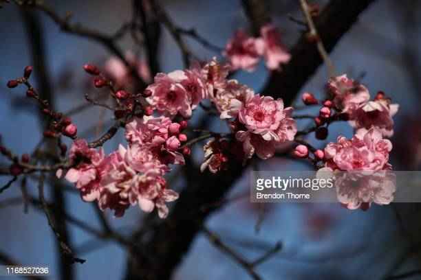 A detail of a Cherry Blossom tree on August 17 2019 in Sydney Australia The 2019 Sydney Blossom Festival will be held across 9 days which runs from...