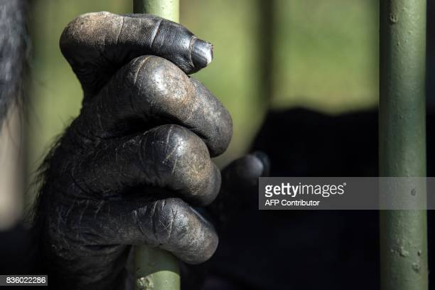 Detail of a chimpanzee's hand at the Great Apes Project a sanctuary for apes in Sorocaba some 100km west of Sao Paulo Brazil on July 28 2017 / AFP...