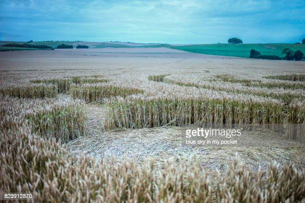 detail of a crop circle from the ground. - crop circle stock pictures, royalty-free photos & images