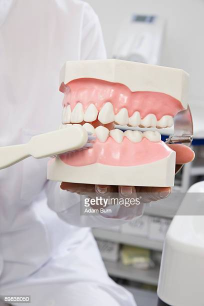 Detail of a dentist holding model teeth and a toothbrush