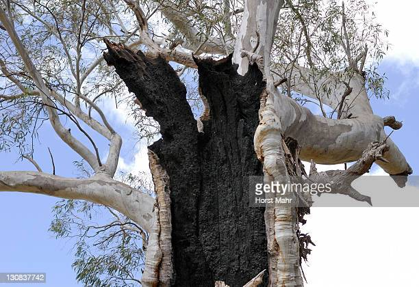 detail of a fire-damaged old eucalyptus tree near melrose, south australia, australia - gum disease stock photos and pictures