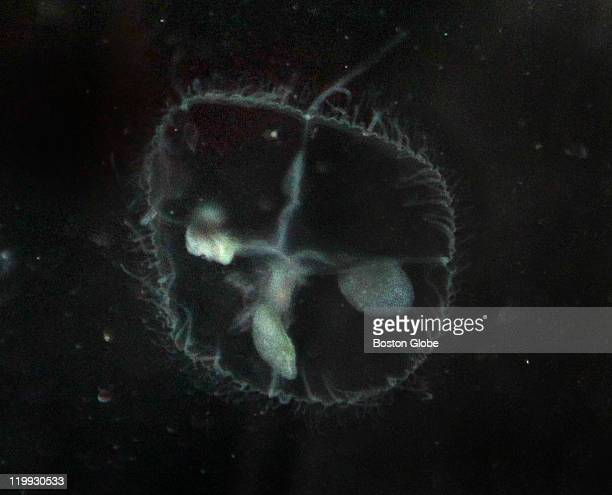 A detail of a jellyfish the size of a dime found at Walden Pond At Walden Pond DCR and the New England Aquarium went out in a canoe to look for...