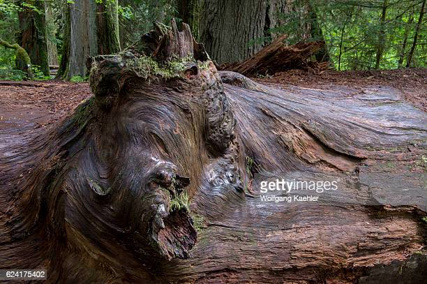 Detail of a knot with graffiti on a fallen giant tree in the Grove of the Patriarchs at Mt Rainier National Park in Washington State USA