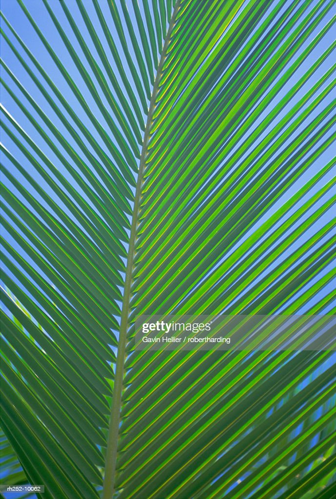 Detail of a palm tree leaf frond, Mahe Island, Seychelles, Indian Ocean, Africa : Foto de stock