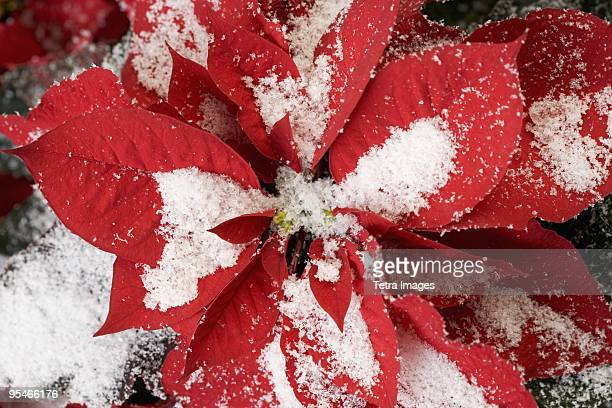 detail of a poinsettia covered in snow - poinsettia stock photos and pictures