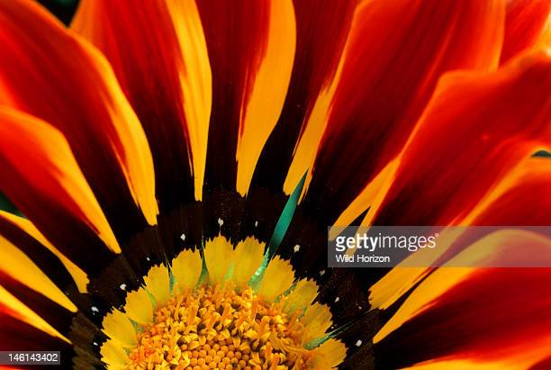 Detail of a treasure flower, Gazania, 'Sunshine' hybrid, Garden in Tucson, Arizona, USA, Photographed under controlled conditions