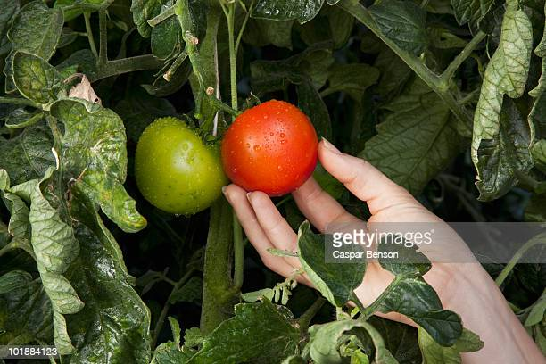 Detail of a woman touching a ripe tomato growing on a vine