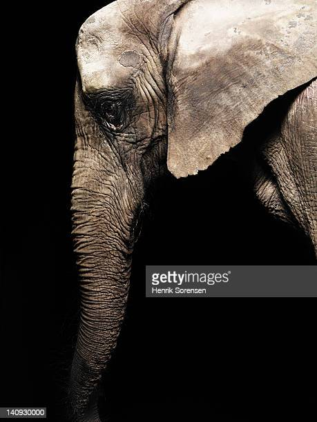 detail of african elephant -