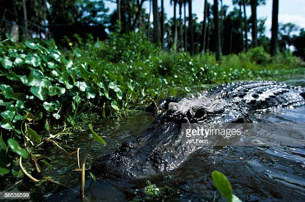 detail of american alligator near shore. alligator mississippiensis. - reptile leather stock pictures, royalty-free photos & images