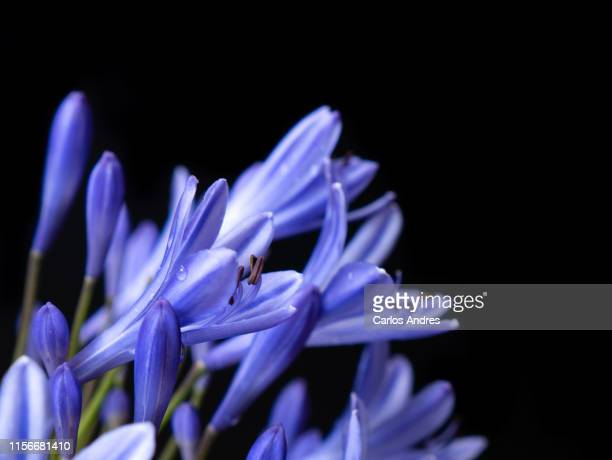 detail of an agapanthus flower or lily of the nile isolated on a black background - {{asset.href}} stock pictures, royalty-free photos & images