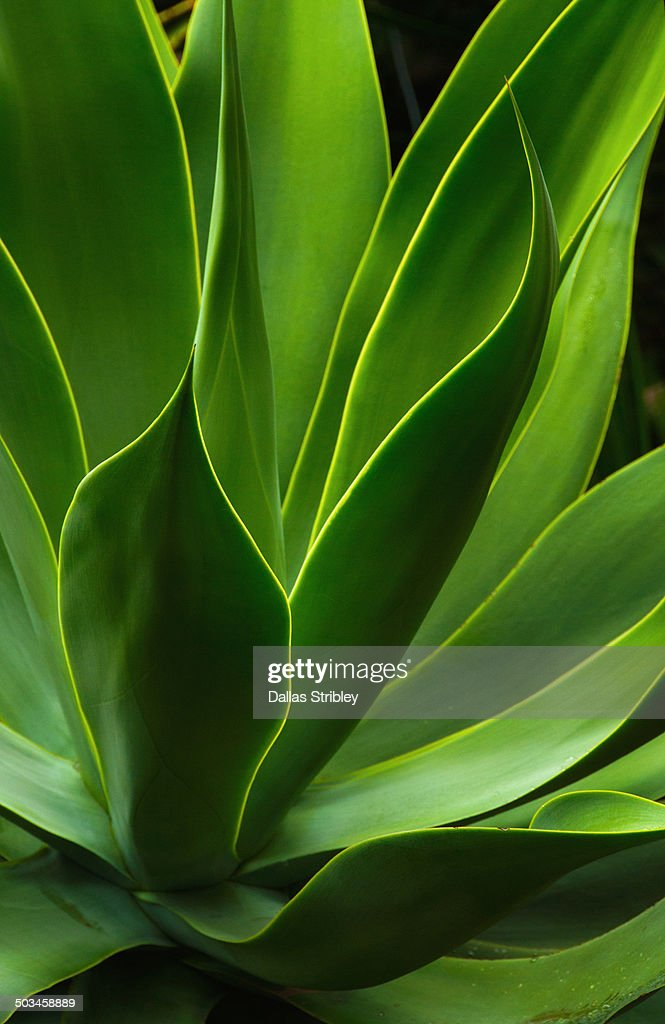 Detail of an agave attenuate plant : Stock Photo