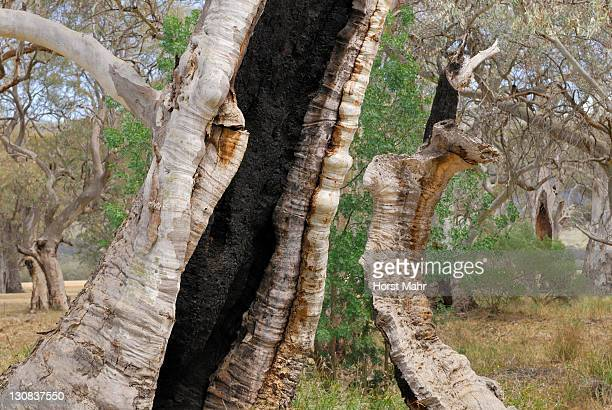 detail of an ancien eucalyptus tree in a river valley near melrose, south australia - gum disease stock photos and pictures