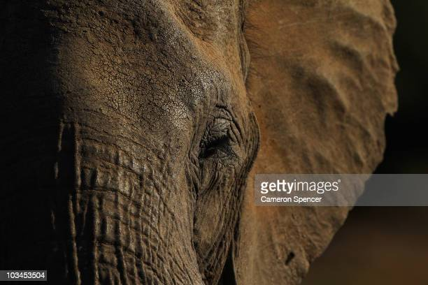 Detail of an elephant at the Mashatu game reserve on July 26 2010 in Mapungubwe Botswana Mashatu is a 46000 hectare reserve located in Eastern...