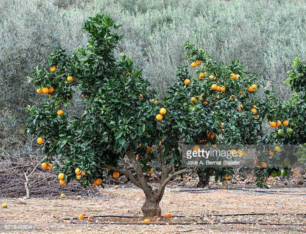 Detail of an orange tree in a field with system of irrigation for pipeline drop to drop