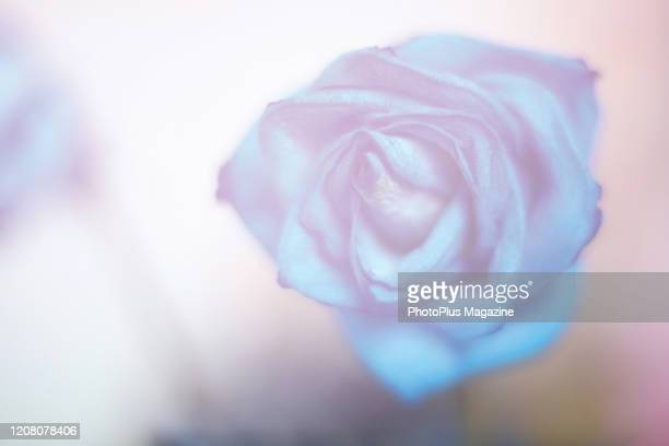 Detail of an unopened blue rose taken on January 17 2019