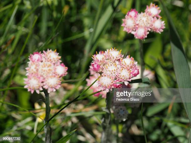 Detail of Antennaria Dioica Female Flowers At Simplon Pass