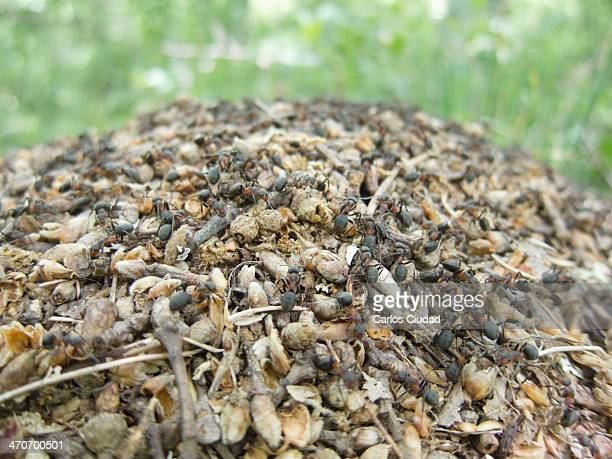 Detail of anthill of Formica rufa located inside a deciduous forest Nests of these ants are large conspicuous domeshaped mounds of grass twigs or...