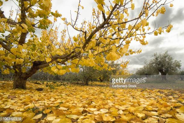detail of apricot tree in autumn