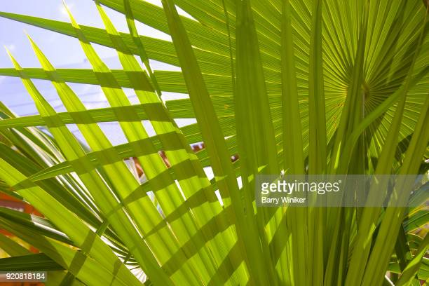 Detail of backlit palm fronds, Mexico