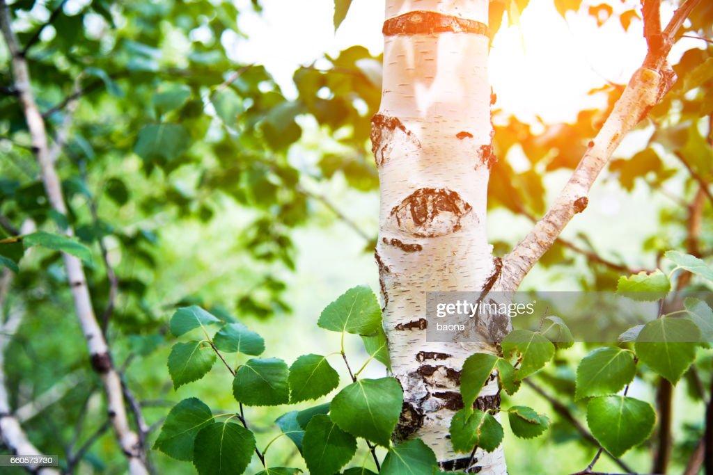 Detail of birch trees : Stock Photo