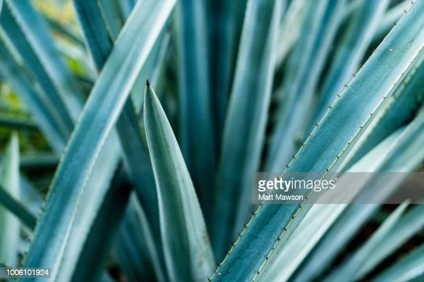 Detail of Blue Agave in Jalisco Mexico